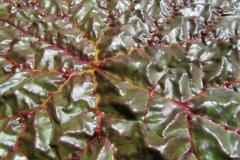 euryale ferox face suprieure 3