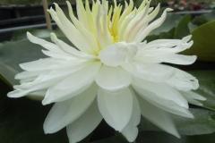 white 1000 petals
