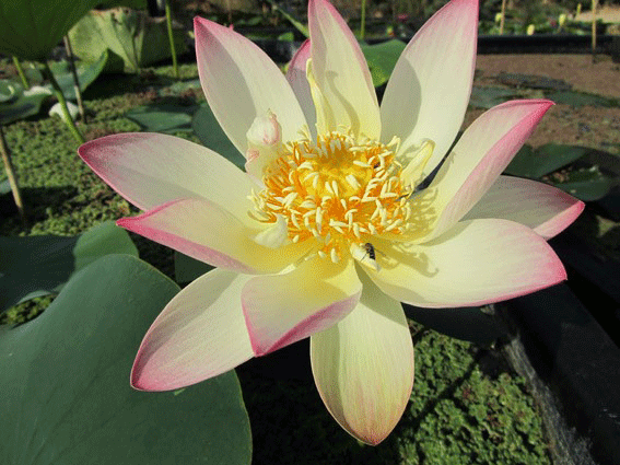 Lotus pink-and-yellow