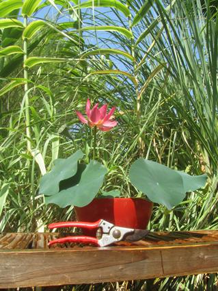 Bowl lotus Sparks