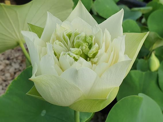 White Pear Flower