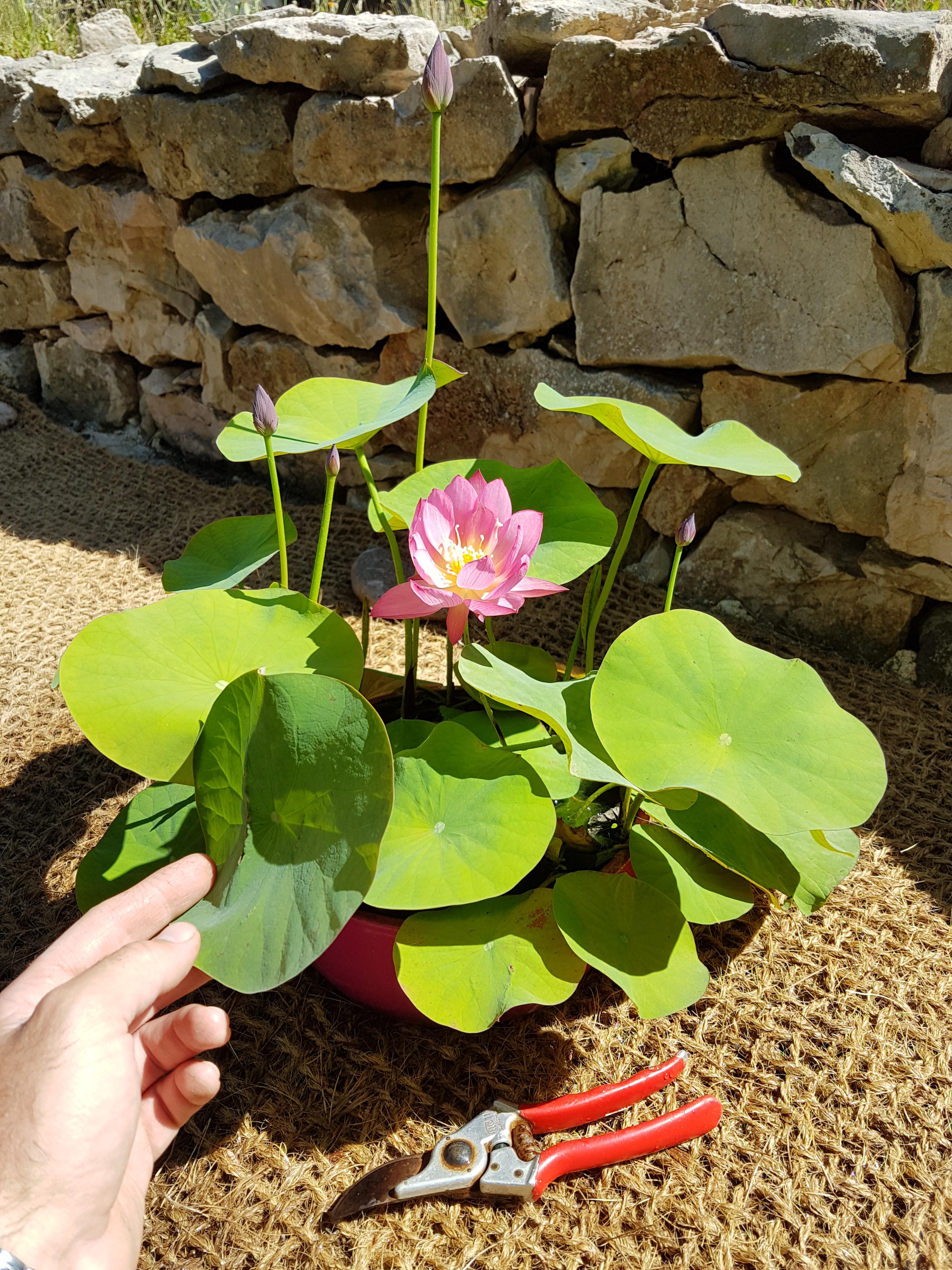 Mini Lotus (Bowl Lotus) vente en rhizome Mars / Avril