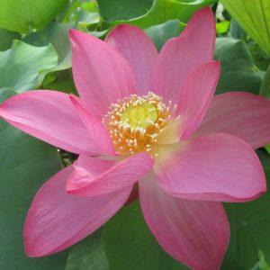 Lotus Nain vente rhizome mars/avril