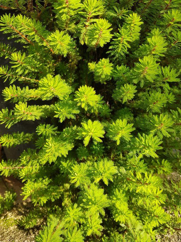 Myriophyllum papillosum