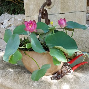 nelumbo mankala pathum du dr nopchai chansilpa le jardin. Black Bedroom Furniture Sets. Home Design Ideas