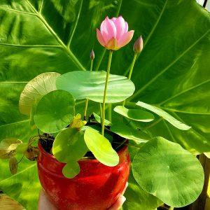 Micro Lotus (Tea Cup Lotus) vente rhizome mars/avril