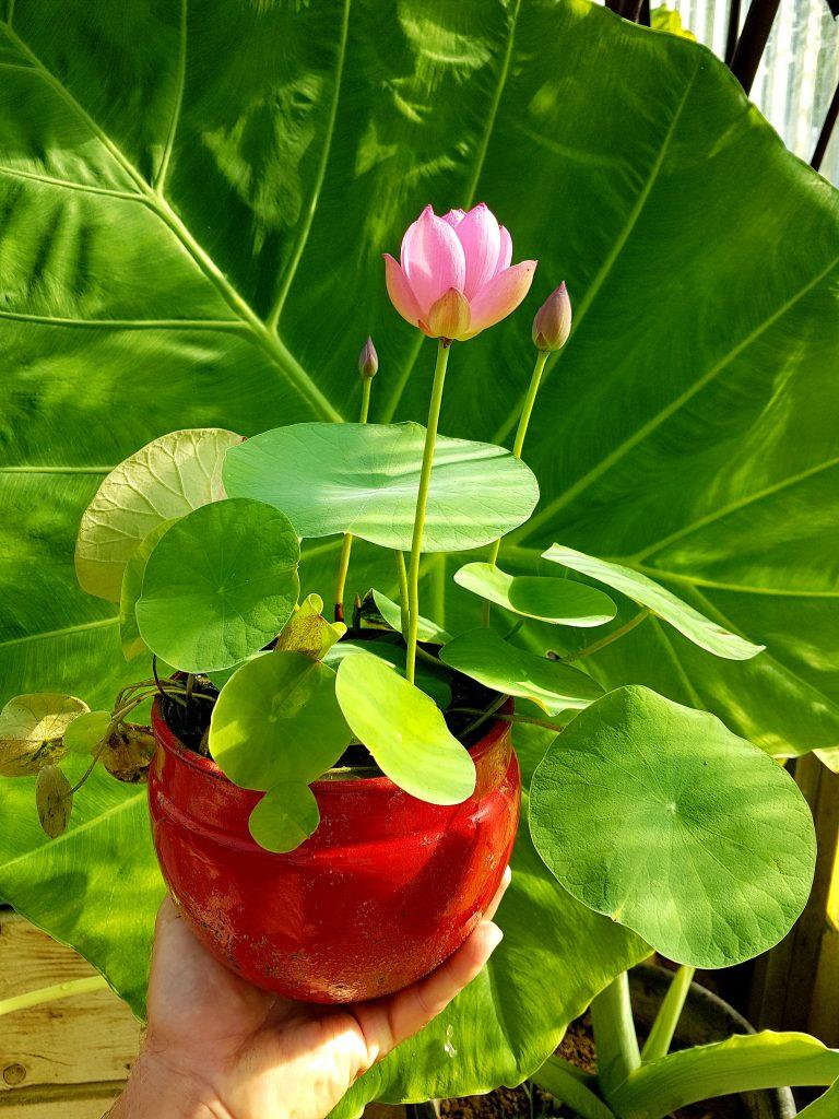 Micro lotus 'Spark'